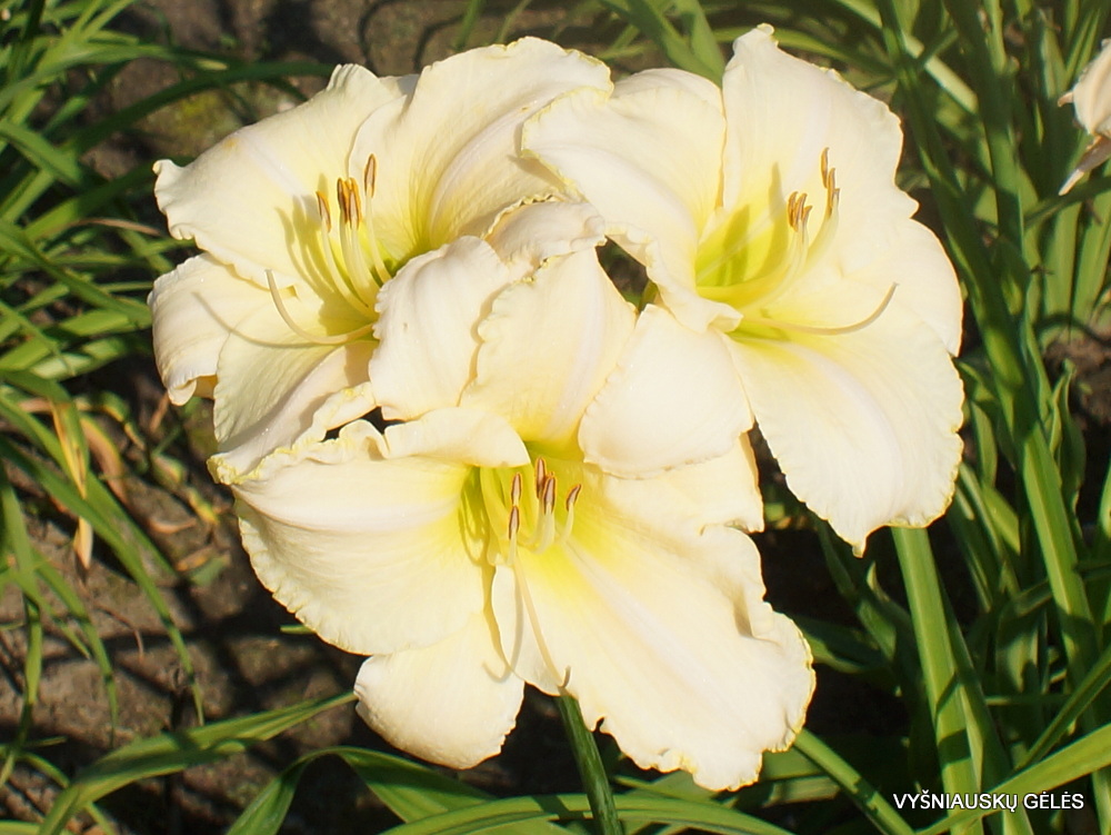 Daylily 'Spacecoast White Out' (3)