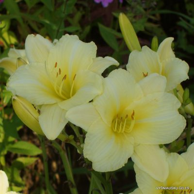 Daylily 'Sunshine on Clouds' (2)