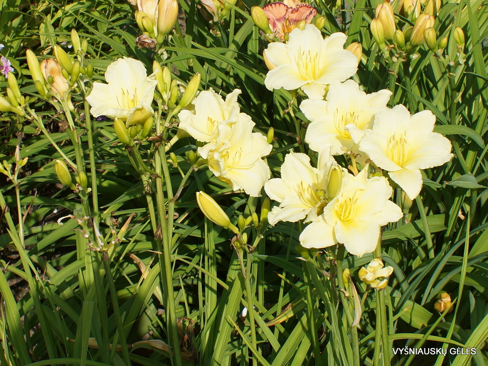 Daylily 'Sunshine on Clouds' (3)