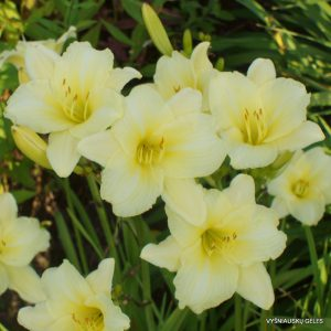 Daylily 'Sunshine on Clouds'