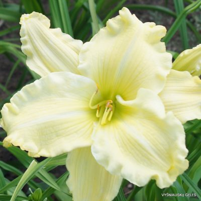 Daylily 'Titan Of Ice'