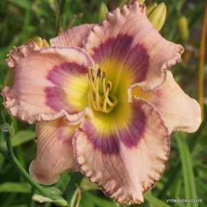 Daylily 'Total Commitment'