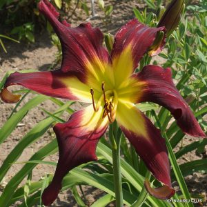 Daylily-Trojan-Warrior