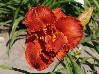 Daylily-Uncle-Henry-Of-Oz 1