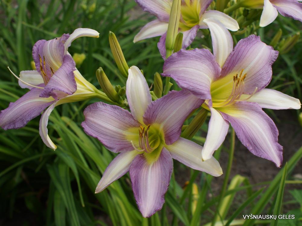 Hemerocallis 'Anna Rubinina' (2)
