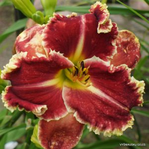 Hemerocallis 'Armed to the Teeth'