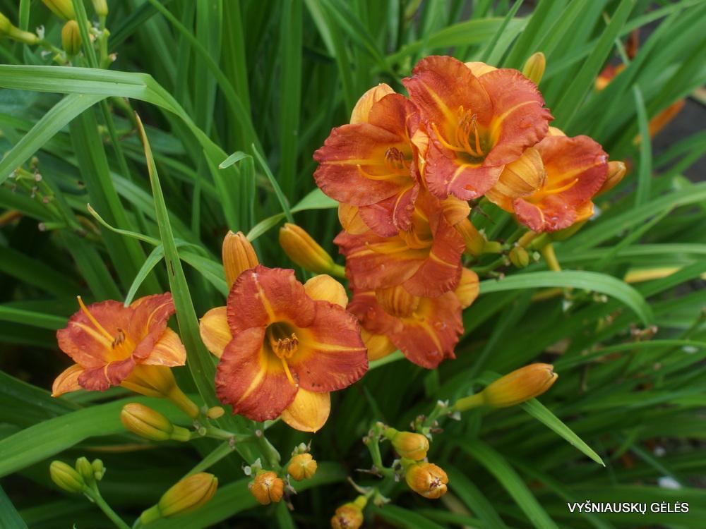 Hemerocallis 'Boitzer Mandarin' (2)