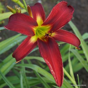 Hemerocallis 'Brilliant Idea'
