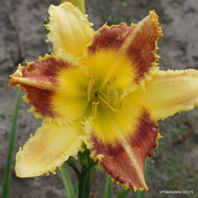 Hemerocallis 'Dentist the Menace' (2)
