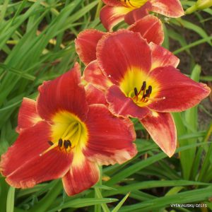Hemerocallis-Different-by-Design