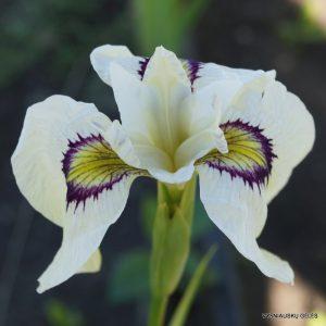 Iris-'Yukiyanagi'