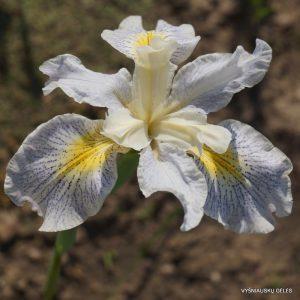 Iris-Elfenkind