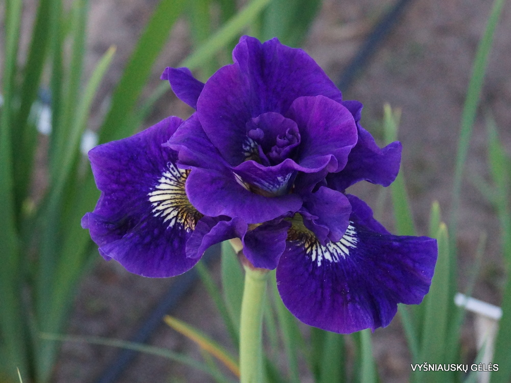 Iris 'Kaboom' (2)