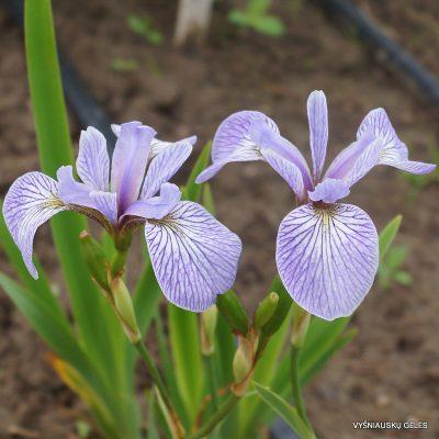 Iris-Light-Verse-2