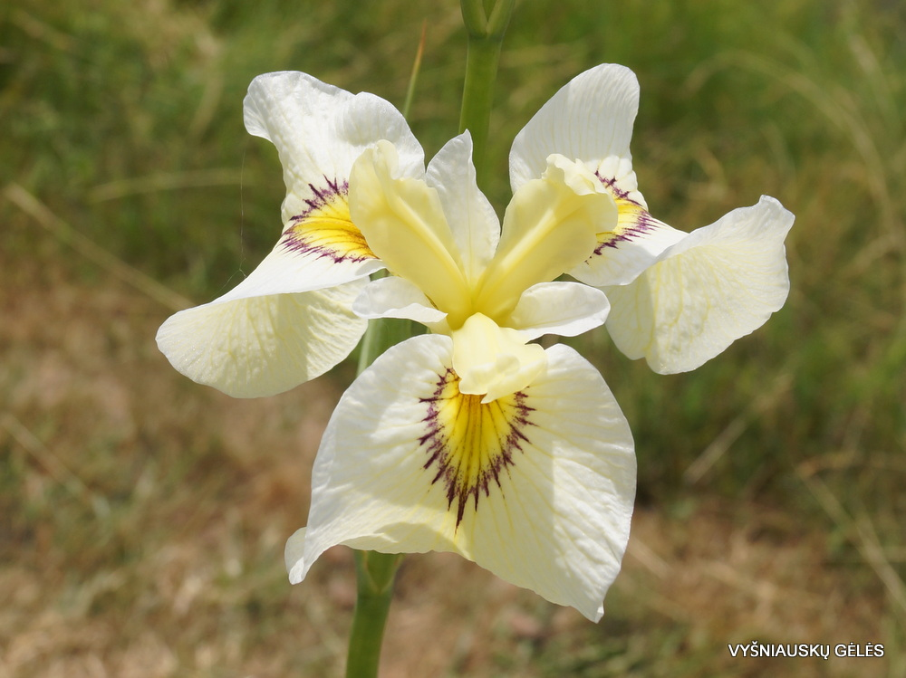 Iris 'Phantom Island' (3)