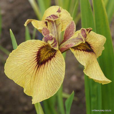 Iris 'Roryu' (2)