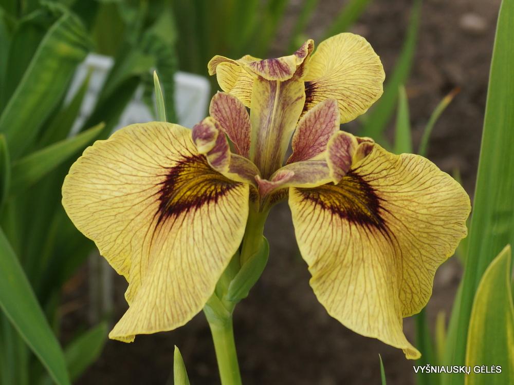 Iris 'Roryu' (3)