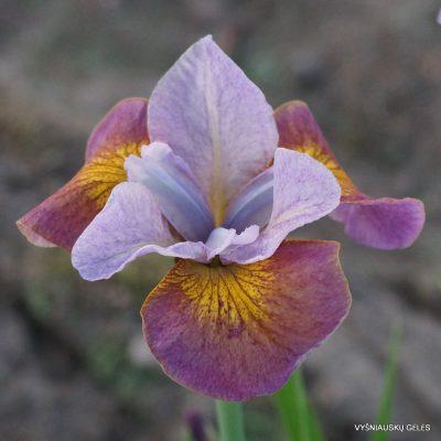 Iris 'Simply Brilliant' (2)