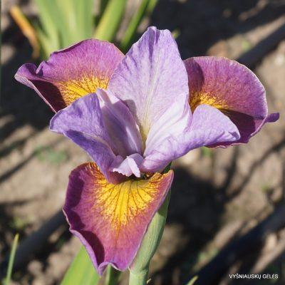 Iris 'Simply Brilliant'