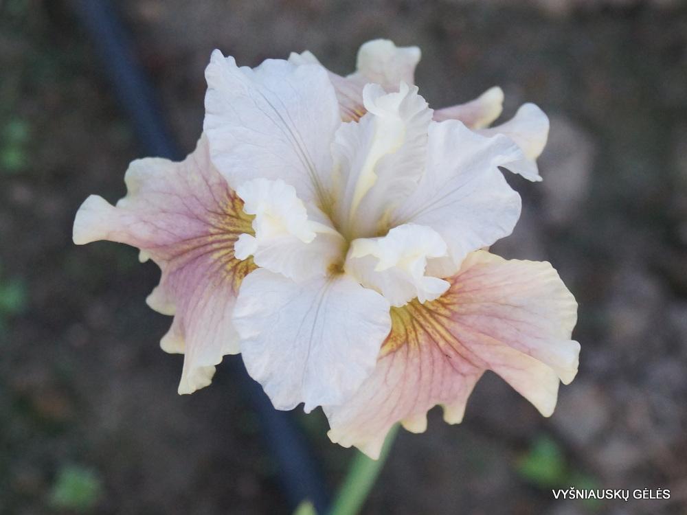 Iris-Wynne-Magnolia