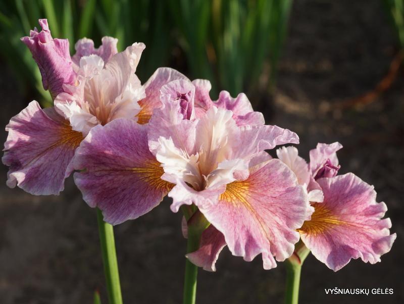 Iris-sibirica-Fancy-Me-This-2