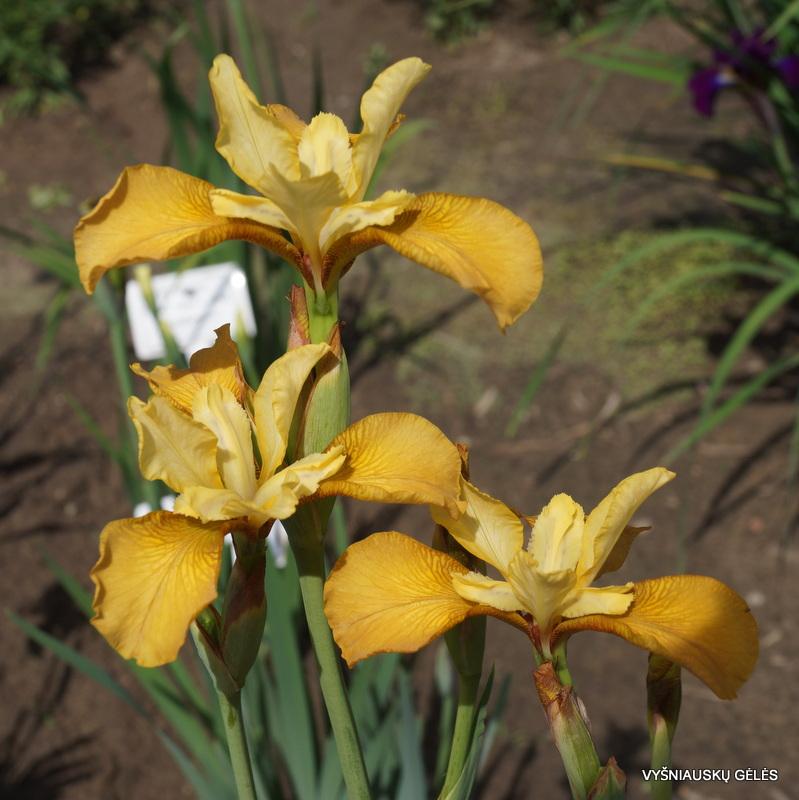Iris-sibirica-Honey-Chic-2