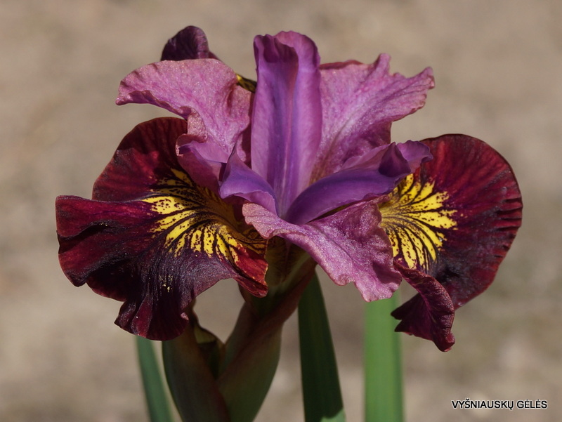 Iris-sibirica-Miss-Apple-2