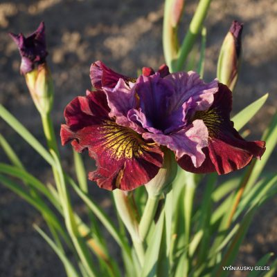 Iris-sibirica-Miss-Apple-4