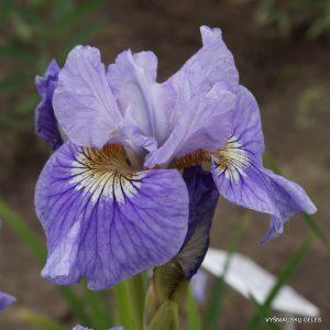 Iris-sibirica-Silver-Girl