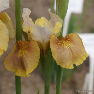 Iris-sibirica-White-Amber