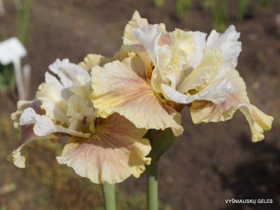 Iris-sibirica-Wynne-Magnolia-2
