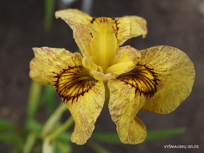 Iris-x-pseudata-Sunadokei-2
