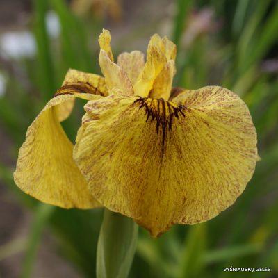 Iris-x-pseudata-Sunadokei-3