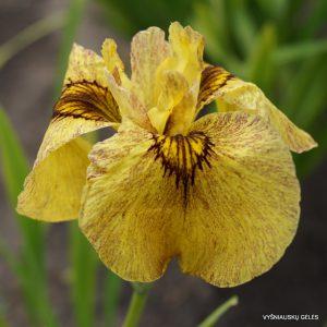 Iris-x-pseudata-Sunadokei