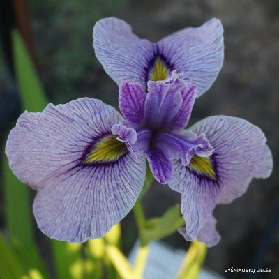 Iris-x-pseudata-Take-No-Sato-2