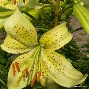 Lily-Zalumbale
