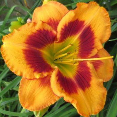 'Orange Firecat'
