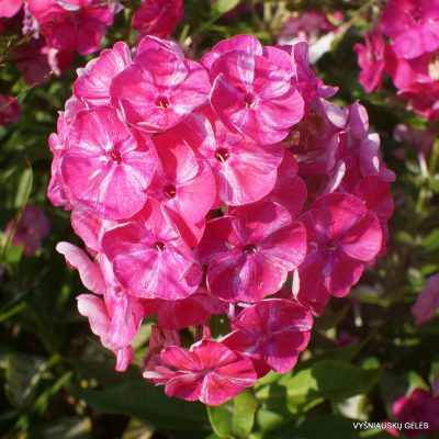 Phlox 'Cherry in Milk' (3)