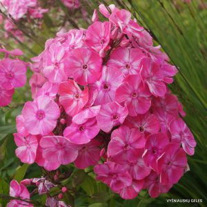 Phlox 'Cherry in Milk'