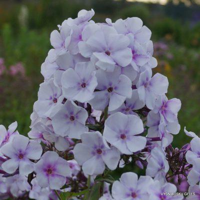 Phlox-'Lavendelwolke'-2-1