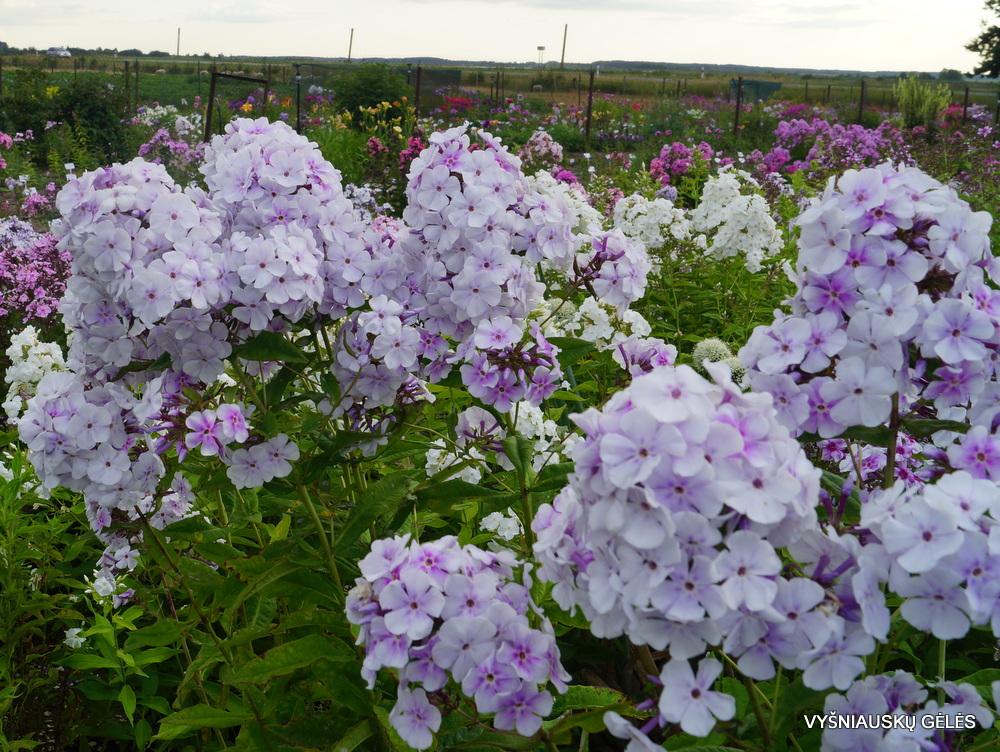 Phlox-'Lavendelwolke'-4-1