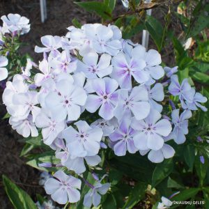 Phlox 'Light Blue Flame'