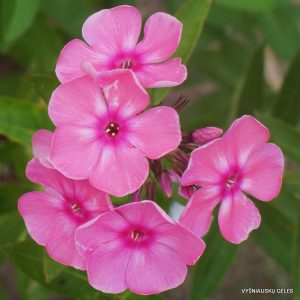 Phlox-'Little-Princess'