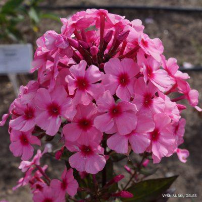 Phlox-'Oleander'-1