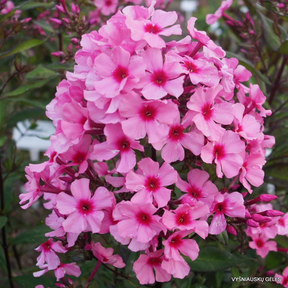 Phlox-'Oleander'-2