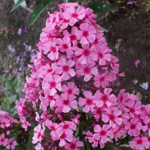 Phlox-'Oleander'-4
