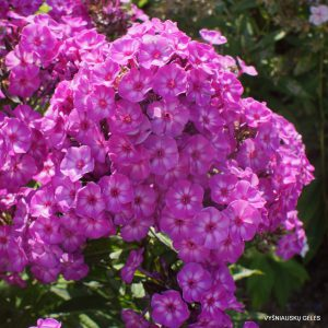 Phlox 'Pixie Miracle Grace'