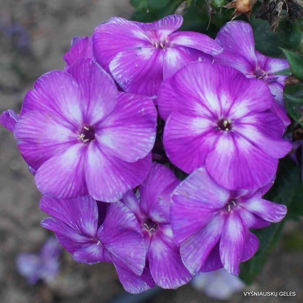Phlox-'Purple-Kiss'-1