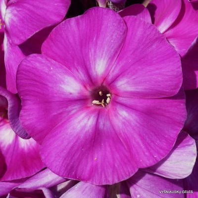 Phlox-'Purple-Kiss'-2