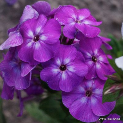 Phlox-'Purple-Kiss'